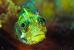 Secretary blenny (Acanthemblemaria maria), head on view, St Vincent
