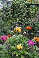 Mixed annual zinnias in the garden. Thunbergia alata Clock vine, Mondarda, house, back garden