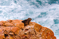 Mossel Bay lies on the Indian Ocean coast of South Africa and is part of the Garden Route. Rock Hyrax.
