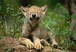 Gray wolf pup bites a blade of grass, Montana, USA.