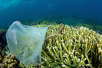 Corals covered in plastic. Plastics are everywhere in our daily lives, if we don't change the way we deal with plastics our oceans are going to suffer the consequences. Too many turtles and dolphins die every year because they ingest plastics.