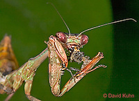 "0408-07mm  Budwing Mantis - Parasphendale agrionina ""Nymph"" © David /Dwight Kuhn Photography"