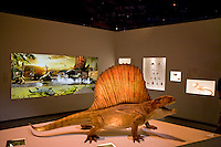 Stock photo of a Dimetrodon model at the new Paleontology Hall at the Houston Museum of Natural Science