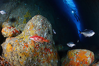 qj0503-D. scuba diver (model released) explores a fissure in which Blue Maomao fish (Scorpis violaceus) and a Red Pigfish (Bodianus unimaculatus) swim amongst colorful sponge-covered boulders. Poor Knights Islands Marine Reserve, New Zealand, Pacific Ocean.<br /> Photo Copyright &copy; Brandon Cole. All rights reserved worldwide.  www.brandoncole.com<br /> <br /> This photo is NOT free. It is NOT in the public domain. This photo is a Copyrighted Work, registered with the US Copyright Office. <br /> Rights to reproduction of photograph granted only upon payment in full of agreed upon licensing fee. Any use of this photo prior to such payment is an infringement of copyright and punishable by fines up to  $150,000 USD.<br /> <br /> Brandon Cole<br /> MARINE PHOTOGRAPHY<br /> http://www.brandoncole.com<br /> email: brandoncole@msn.com<br /> 4917 N. Boeing Rd.<br /> Spokane Valley, WA  99206  USA<br /> tel: 509-535-3489