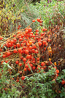 Physalis alkekengii in late November seedheads in Fall garden