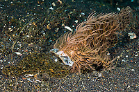 The flatfish proved too large for the frogfish and eventually the frogfish spat its prey out, already dead. The Lembeh Strait in N Sulawesi is famous for its unusually high marine biodiversity, particularly of unusual animals that live on the exposed sand areas.