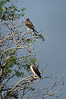Pair of White-tailed Hawks
