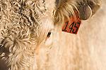 Brazoria County, Damon, Texas; a tight headshot of a Charolais bull in early morning sunlight