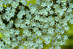 Burnet Saxifrage, Pimpinella saxifraga, Stodmarsh, Kent, close up of small white flowers, umbrella parsley family, .United Kingdom....