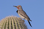 Gilded Flicker (Colaptes chrysoides) adult male, Arizona, USA.