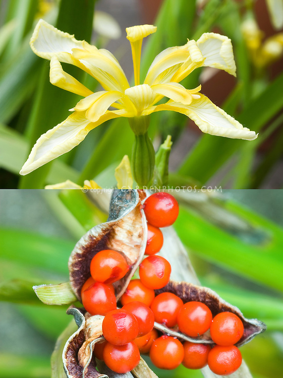 Iris foetidissima lutescens composite picture, flowers and berry fruits