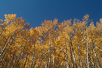 fall trees in Park City