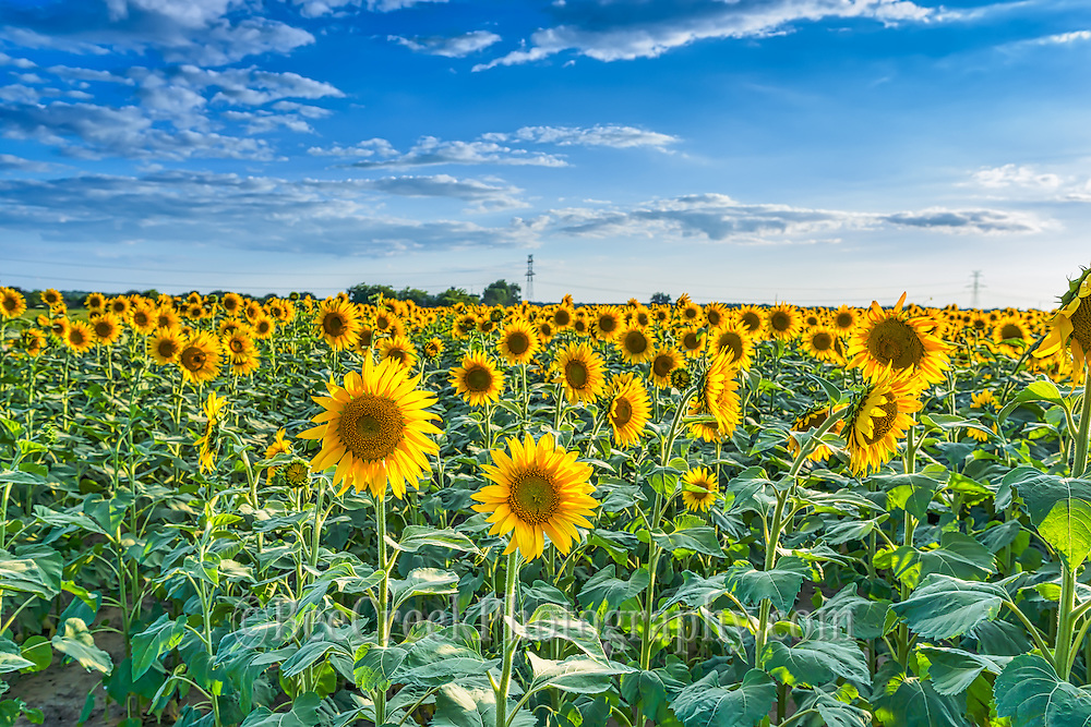 We love these sunflower fields and we spent over a month going back to capture these beautys before they were cut since you don't know the farmer schedule.  These look so pretty being back lit by the sun just another example of how farming has changed.  Thats why we had to go so many times because they only grow for a short period of time and some come up before others so they may not open up all at the same time.  The best time is when they are all open but when it is a four drive just to get here not alway easy to know I hope you enjoy looking at them as much as we enjoying photographying them.