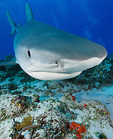 RW2196-D. Tiger Shark (Galeocerdo cuvier), large and dangerous species, usually solitary though may aggregate around food source such as dead whale. Life span thought to be 45-50 years. Varied diet, from birds to turtles to fish to marine mammals. Bahamas, Atlantic Ocean.<br /> Photo Copyright &copy; Brandon Cole. All rights reserved worldwide.  www.brandoncole.com
