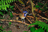 Pitta-like Ground Roller (Atelornis pittoides), Masoala National Park, Madagascar