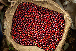 Fifty pound bag of coffee cherries on a coffee farm in western El Salvador.