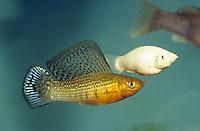 Segelkärpfling, Zuchtform, Poecilia velifera, Mollienesia velifera, Yucatan molly, Molly voile, Lebendgebärende Zahnkarpfen, live-bearers, Poeciliidae
