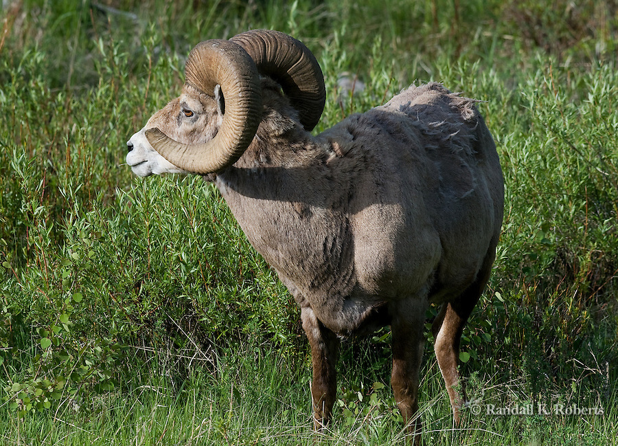 A bighorn sheep ram (Ovis canadensis) surveys his turf near the Lamar Valley, Yellowstone National Park, Wyoming.
