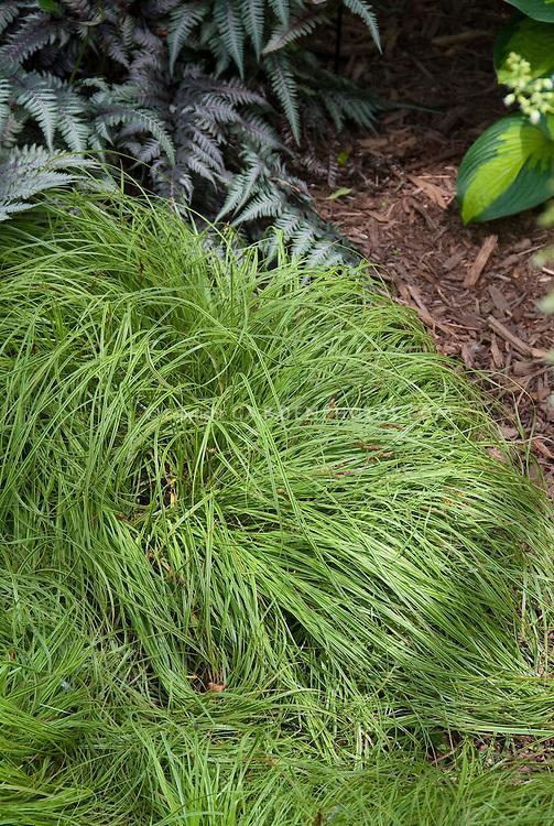 Carex caryophyllea beatlemania plant flower stock for Ornamental grass yellow