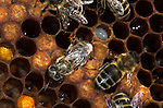 Honey Bee, Apis mellifera, inside hive, worker hatching from cell, sequence, social, network.United Kingdom....