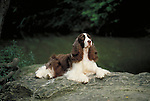 English Springer Spaniel<br />