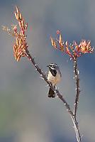 578670039 a wild male black-throated sparrow amphispiza bilineata perches on a flowering ocotillo foqueria splendens in the madera grasslands near madera canyon pima county arizona united states