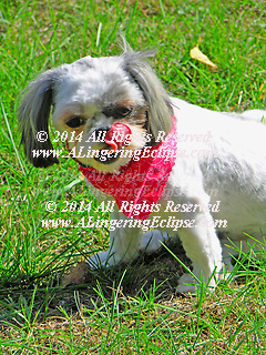 Registered Shih-Tzu Puppy in Red Neck Kerchief Licking Lips in Summer Grass after a Haircut.  Man's best friend is a continuous source of entertainment to the owners!