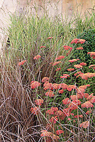 Exciting planting combination of red yarrow (Achillea millefolium) and ornamental grass Carex for airy movement in garden plants and flowers next to deck