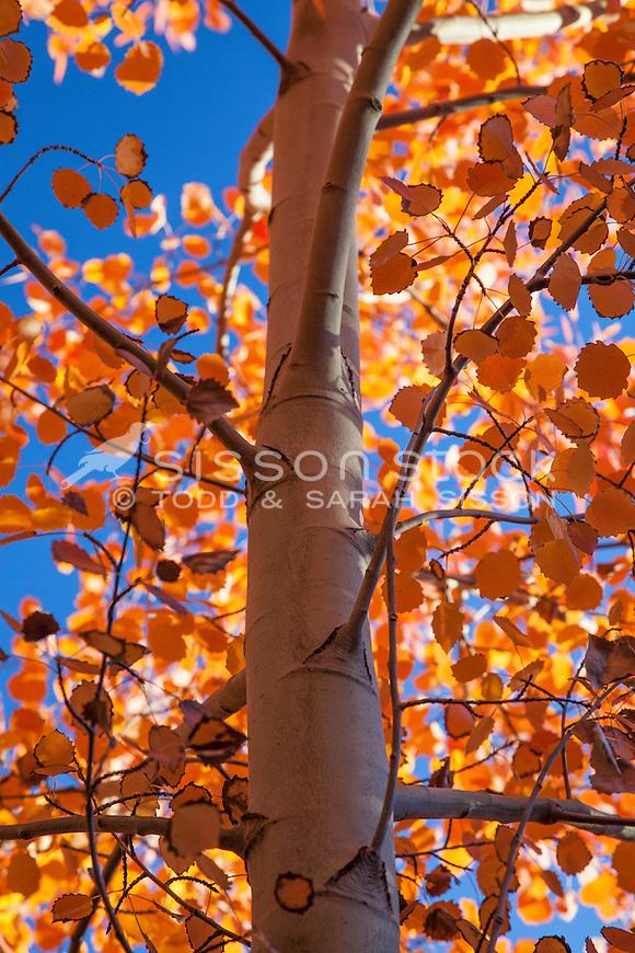 Orange fall leaves on birch trees, Lake Pukaki, South Island NZ