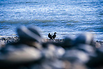 Oil Shelduck.<br /> Oil on beaches following the 72,000 tonne oil spill on the Pembrokeshire coast from the Sea Empress oil tanker
