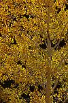 Lone aspen tree (Populus tremuloides) on the North Rim of the Grand Canyon National Park, Arizona, USA