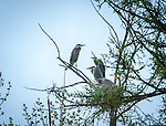 Young Great Blue Herons sitting in the nests with an adult at Valencia wetlands