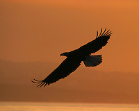 American bald eagle (Haliaeetus leucocephalus) in flight at sunset, Homer, Alaska.