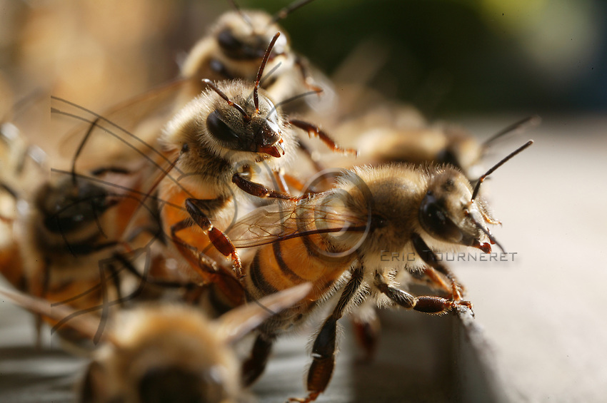 Suspended from the hive, the bees hang on to each other to allow a better airflow in the comb when temperatures are too warm.