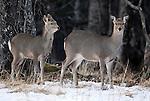 Sika deer, Cervus nippon, alert at edge of woodland, Nemuro Region, Hokkaido Island, Japan .Japan....