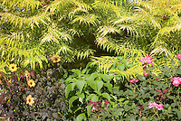 Rhus typhina 'Bailiger' aka 'Tiger Eyes' Staghorn Sumac shrub with golden yellow cutleaf foliage, Dahlia Mystic Illusion with purple dark foliage and yellow flowers, Rosa 'Pink Knockout' rose aka 'Radcon' pink roses