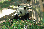 A Panda Bear eating Bamboo.
