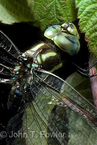 Green darner dragonfly, predacious insect at rest