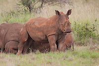 White Rhinoceros (Ceratotherium simum), South Africa