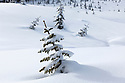 WA11641-00...WASHINGTON - Snow covered trees in a clear cut near Windy Pass in the Mount Baker-Snoqualmie National Forest.