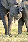 Asian Elephants, Minneriya National Park