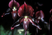Paphiopedilum vinicolor type Maudiae, very dark almost black orchid flower,