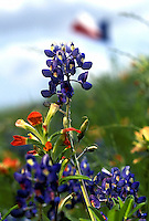 Stock photo of Texas Bluebonnets and Indian Paintbrushes in a field with a Texas flag in the background