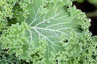 Kale or Borecole (Brassica oleracea convar. acephala var. sabellica). Supposed to have more nutritional value for fewer calories than almost any other food around. Grønnkål.