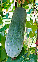 Asian long melon on the vine
