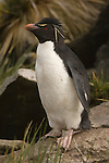 A portrait of a rockhopper penguin on Westpoint Island in the Falkland Islands