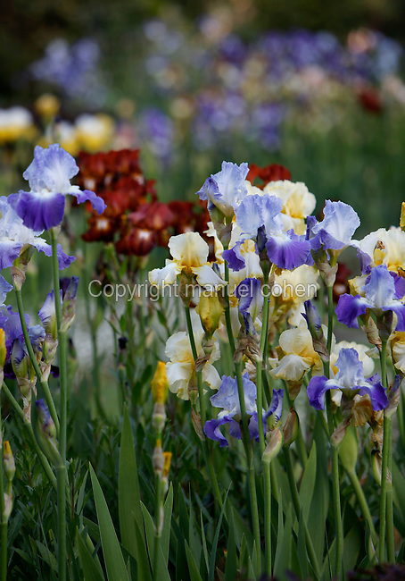 The Jardin des Iris et des Plantes Vivaces (Iris and Perrenials garden), created in 1964 and located in the Jardin des Plantes, Paris, 5th arrondissement, France. Founded in 1626 by Guy de La Brosse, Louis XIII's physician, the Jardin des Plantes, originally known as the Jardin du Roi, opened to the public in 1640. It became the Museum National d'Histoire Naturelle in 1793 during the French Revolution. Picture by Manuel Cohen