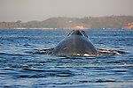 Every winter Humpback whales migrate to the Bay of Banderas Mexico to give birth to their calves and gain extra blubber and strength,before migrating north to feeding grounds.