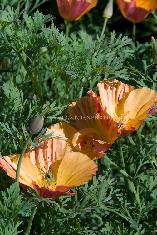 Eschscholzia californica 'Thai Silk Series Apricot Chiffon Mix' Wisley Trials 6, California poppies with spider