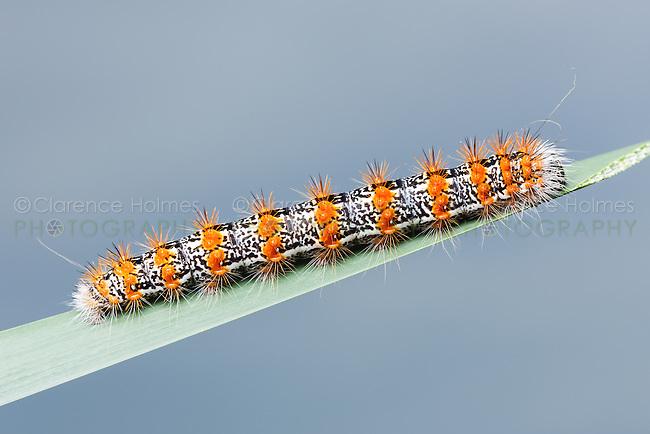 A Cattail Caterpillar Moth (Simyra insularis), aka Henry's Marsh Moth, caterpillar (larva)  perches on a blade of marsh grass.
